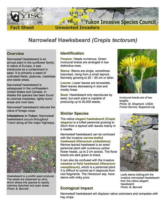 Narrowleaf Hawksbeard Info