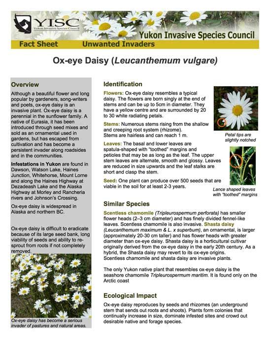 Oxeye Daisy Info