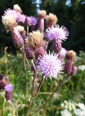 4 - Creeping Thistle