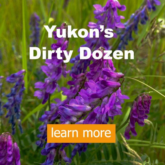 Yukons dirty dozen