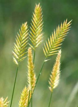 6 - Crested Wheat Grass