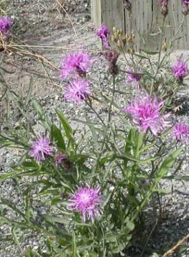 15 - Spotted Knapweed